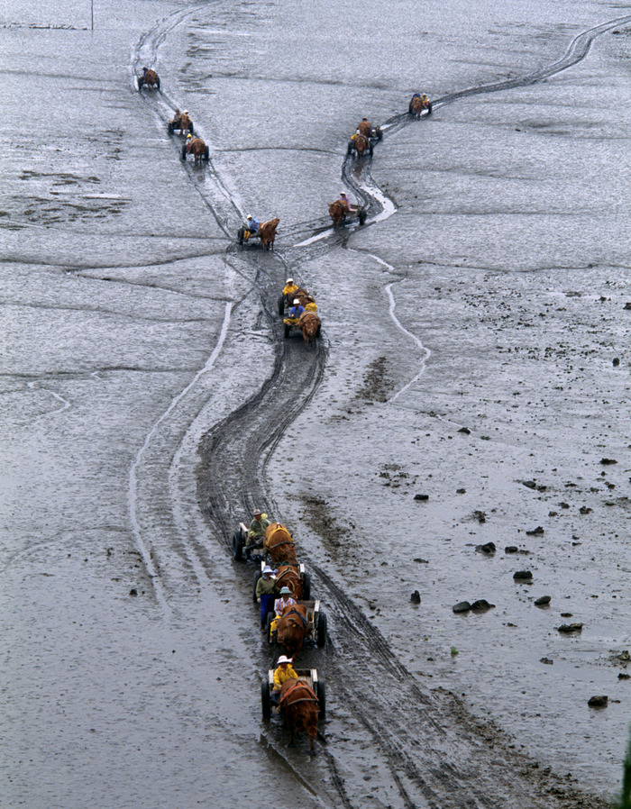 Fishermen carts moving their catch from mudflat