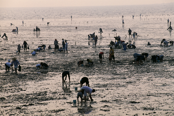 People digging for clams at mudflat festival